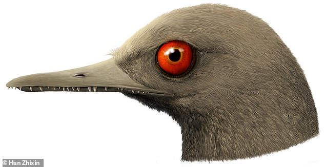 'It's a little smaller than a bee hummingbird - the smallest bird alive today,' said Professor O'Connor. 'The jaws are filled with 100 teeth. It had these weird eyes staring out looking to the sides. There's nothing like this alive today.' Pictured, an artist's impression of Oculudentavis.