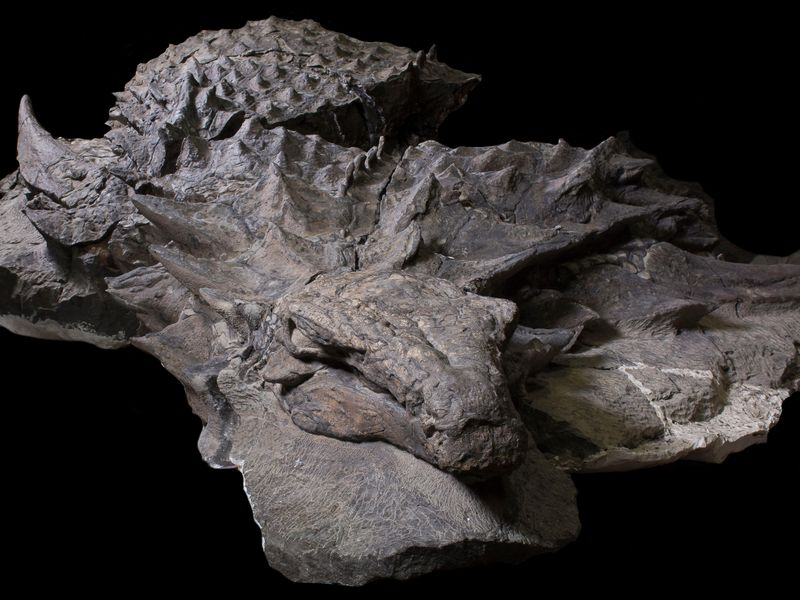 (Courtesy of Royal Tyrrell Museum, Drumheller, Canada)