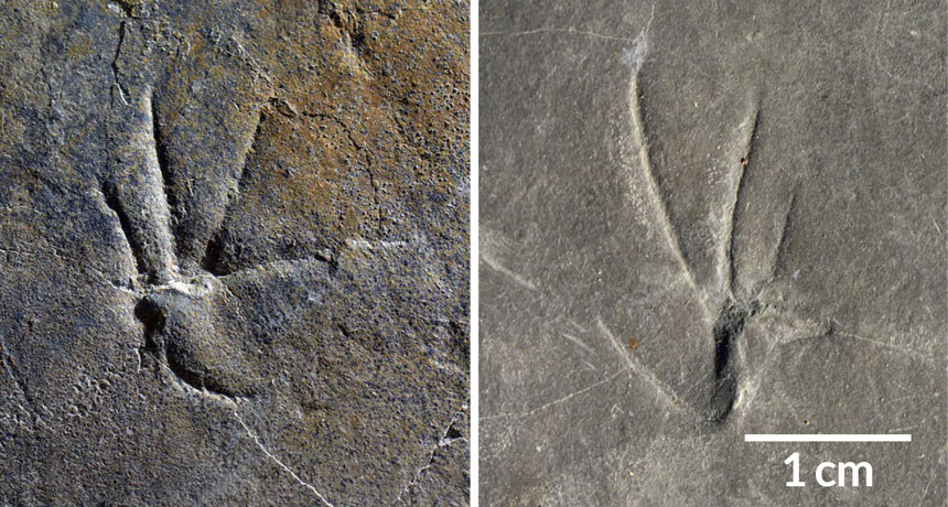 IMPRINTS  Scientists think that these fossilized footprints may represent the earliest evidence of a lizard running on two legs. Here, a front print (left) and a back print (right) are shown.