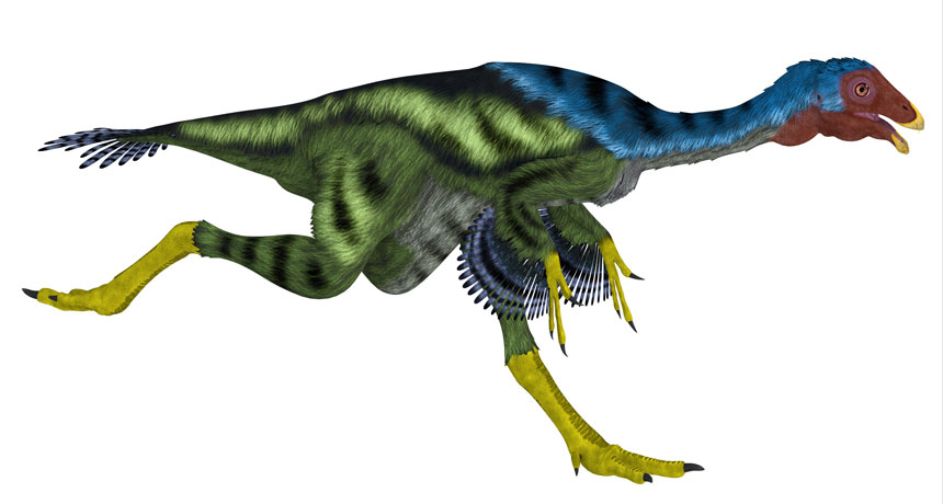 MEEP MEEP  Caudipteryx, a peacock-sized dinosaur (illustrated) that lived about 125 million years ago, was a fast runner. The jostling from its gait may have caused its feathery forelimbs to flap, in a possible precursor to active flapping, a study finds. COREY FORD/ALAMY