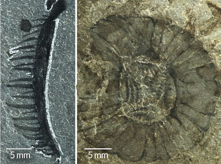 CLAWS AND JAWS C. falcatus had closely packed spines along the back of its appendages (left), which it may have used to dig through seafloor sediment to trap prey. Its round mouth was lined with serrated plates (right).