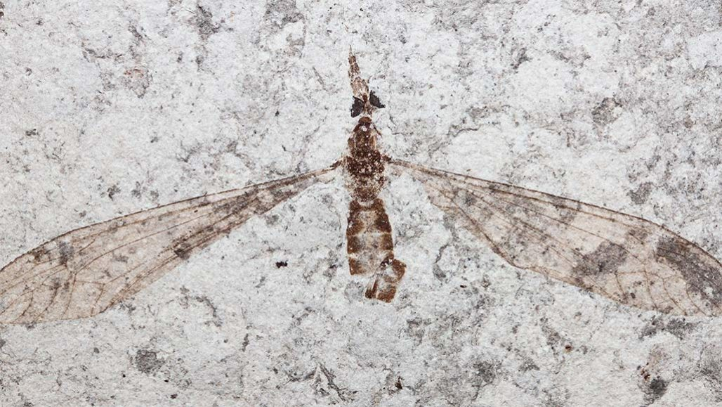 Tiny, fossil crane flies found in Denmark have compound eyes (dark bulges in this specimen) with unusual lenses, renewing debate about how different extinct creatures — called trilobites — once saw the world.  RENÉ LYNG SYLVESTERSEN