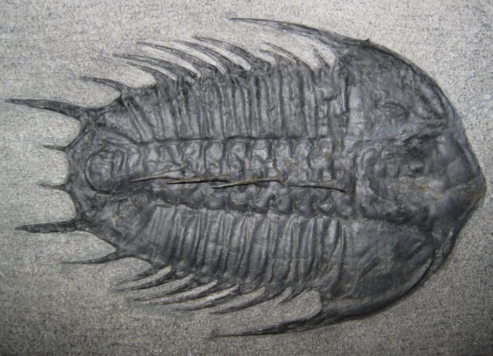 Trilobites were the dominant species during the Cambrian Period, 540 to 490 million years ago. Credit: Bill Frische | Shutterstock