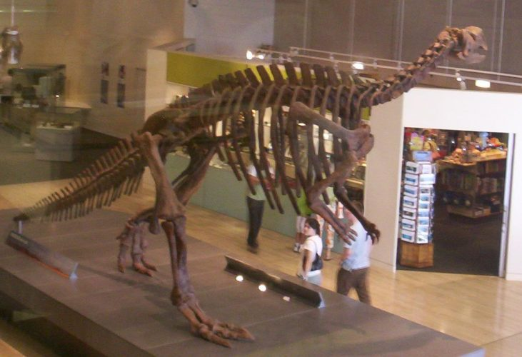 Muttaburrasaurus skeleton, as viewed from the Information Section at the Queensland Museum, Brisbane. Author: Figaro