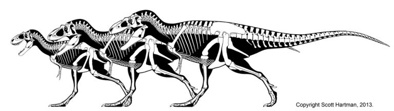 Skeletal reconstructions and postcranial elements of Utah tyrannosaurs. (A) Skeletal outlines showing recovered elements of Lythronax argestes (UMNH VP 20200) and (B) Teratophoneus curriei (UMNH VP 16690). Selected postcranial elements of Teratophoneus in left lateral view: (C) cervical vertebra 3; (D) cervical vertebra 9; (E?G) three caudal vertebrae; (H) right ilium (photoreversed with left illium in the background in grayscale); (I) pubis; (J) ischium; (K) right femur in lateral view; (L) right tibia in anterior view; and (M) right fibula in medial view. Elements of Lythronax figured include: (N) the left pubis in lateral view; (O), left tibia in anterior view (photoreversed); and (P) left fibula in medial view (photoreversed). Scale bar for a and b is 1 meter, c-g 5 cm and h-p 10 cm. Abbreviations: ac, acetabulum; af, astragalar facet; bf, brevis fossa; cc, cnemial crest; dp, diapophysis; ep, epipophysis; ff, fibular flange; ffa, fibular facet; ft, fourth trochanter; if, iliofibularis muscle scar; ip, ischial peduncle; lt, lesser trochanter; mff, fibular fossa; ns, neural spine; of, obturator flange; pa, parapophysis; pb, pubic boot; pc, pleurocoel; pp, pubic peduncle; poz, postzygapophysis; prz, prezygapophysis; sac, supraacetabular crest; sar, supraacetabular ridge; tp, transverse process. Author: Scott Hartman