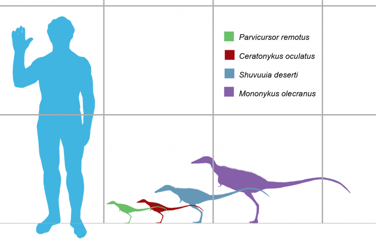 Size comparison of several parvicursorine dinosaurs. From left to right: Parvicursor remotus (green), Ceratonykus oculatus (red), Shuvuuia deserti (blue), and Mononykus olecranus (violet). Scaled to tibia length in their respective descriptions. Author: Matthew Martyniuk