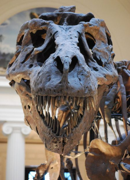 "Close up of ""Sue"" T-Rex replica skull at the Field Museum of Natural History in Chicago, IL. Author: Scott Robert Anselmo"