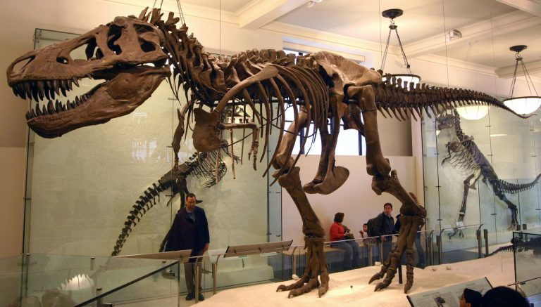 Tyrannosaurus specimen AMNH 5027 at the American Museum of Natural History.