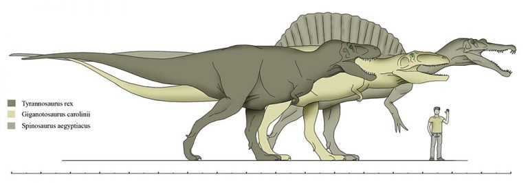 Back to size, here is a comparison with Spinosaurus that is actually reasonable. Author: terra raptor
