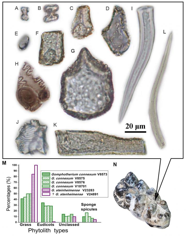 Phytoliths of grass and foliage found adhered to a molar of Gomphotherium connexum (bottom-right) from the Miocene deposits of Junggar Basin, Xinjiang, China. The bar chart from the bottom-left indicate relative abundance of different phytolith types from Gomphotherium teeth examined in this study. Credit  Wu Yan, Institute of Vertebrate Paleontology and Paleoanthropology, Chinese Academy of Sciences, Beijing