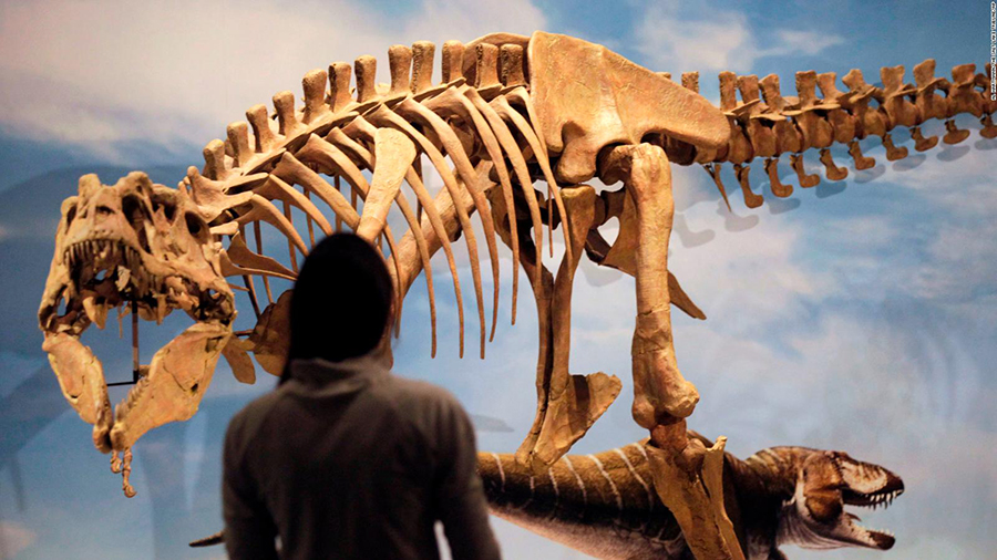 A new species of tyrannosaur unearthed in Utah went on display at the state's Natural History Museum in 2013. Al Hartmann/The Salt Lake Tribune/AP