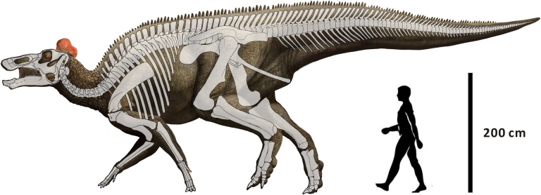 Reconstruction of E. regalis Hai Xing, Jordan C. Mallon, Margaret L. Currie – http://journals.plos.org/plosone/article?id=10.1371/journal.pone.0175253#pone.0175253.ref008 Reconstruction of Edmontosaurus regalis mainly based on CMN 2288, CMN 2289, CMN 8399, and UALVP 53722 (modified from Campione and Evans).