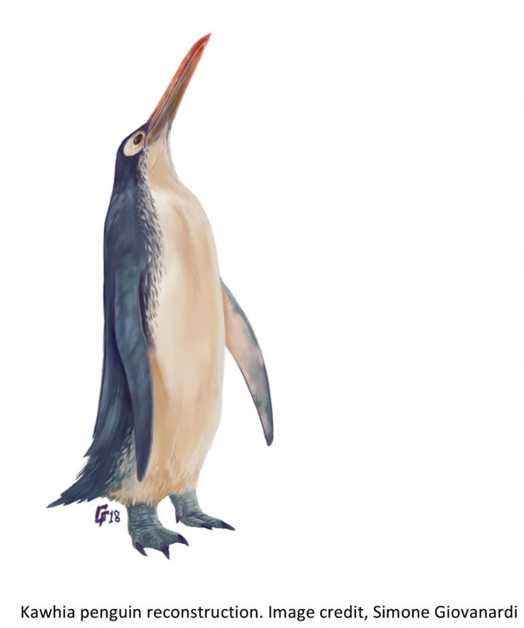 CAPTION New Zealand is a key area for understanding the diversity of the extinct penguins and has even revealed the existence of 'giant' penguin species (larger than living penguins). A new study describing a remarkably complete giant penguin skeleton from the Oligocene, Kawhia Harbour in the North Island of New Zealand was presented by Simone Giovanardi, Massey University Albany, Auckland, New Zealand, at this year's annual meeting of the Society of Vertebrate Paleontology.  CREDIT: Simone Giovanardi