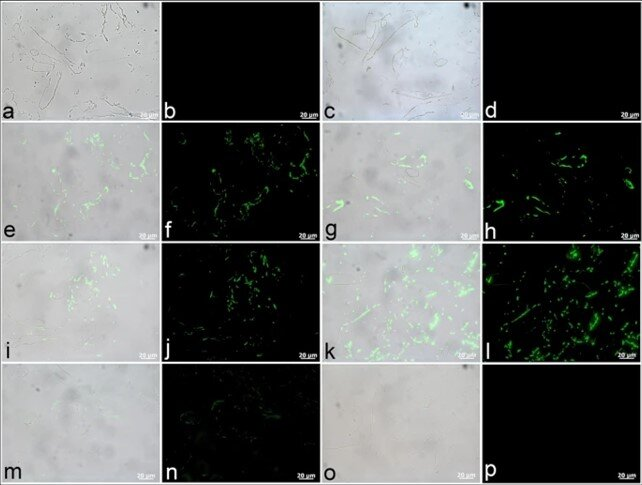 T. rex tissues exhibit positive antibody binding to protein components of extant vascular tissue. (a,c,e,g,i,k,m,o) Are composite images in which fluorescence corresponding to antibody-antigen complexes is overlain upon VLM images of vessel sections, with adjacent images (b,d,f,h,j,l,n,p) captured using a fluorescent filter. (a–d) No spurious binding was observed for negative controls in which vessels were exposed to secondary antibodies raised against the host species of all other antibodies used, i.e., mouse (a,b) and rabbit (c,d). (e,f) Positive binding of dinosaur vessels to actin antibodies can be seen in thin, evenly distributed layers, and (g,h) more broadly distributed binding is apparent for muscle tropomyosin antibodies. Antibodies to both (i,j) type I collagen and (k,l) elastin bind positively to these T. rex vessels. (m,n) Antibodies raised against ostrich haemoglobin exhibit comparatively lower binding intensity. (o,p) No reactivity of dinosaur vessels to antibodies against bacterial peptidoglycan was observed (indicating no contamination). Credit: Scientific Reports, doi: 10.1038/s41598-019-51680-1