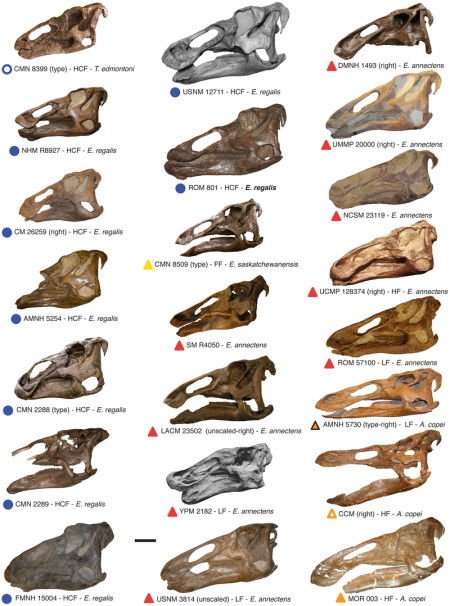 Most known complete Edmontosaurus skulls Nicolás E. Campione, David C. Evans – Fig. 2 in Cranial Growth and Variation in Edmontosaurs (Dinosauria: Hadrosauridae): Implications for Latest Cretaceous Megaherbivore Diversity in North America. PLoS ONE 6(9):e25186, doi:10.1371/journal.pone.0025186 Compilation of virtually all known complete edmontosaur skulls from North America. All skulls are in lateral view (sometimes reversed). Labels below each skull include the symbol used in the morphometric plots, whether the specimen represents a holotype (type), the formation where it was uncovered (HCF, Horseshoe Canyon Formation; HF, Hell Creek Formation; FF, Frenchman Formation; LF, Lance Formation), and the species name based on traditional edmontosaur taxonomy. Scale bar, 20 cm.