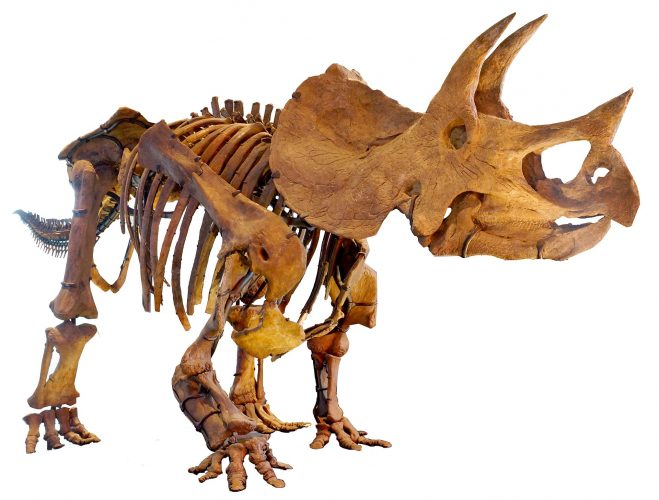 Triceratops, one of the largest ceratopsians (a chasmosaurinae ceratopsid). It had solid frill and long horns.