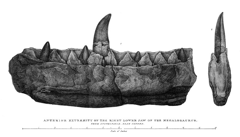 "Lithography from William Buckland's ""Notice on the Megalosaurus or great Fossil Lizard of Stonesfield"", 1824. Caption reads ""anterior extremity of the right lower jaw of the Megalosaurus from Stonesfield near Oxford""."