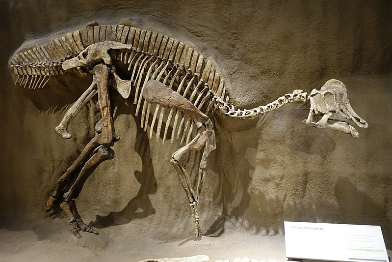 H. altispinus fossil at the Royal Tyrrell Museum