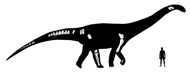 Skeletal reconstruction showing known remains of Nullotitan. Author: Novas, F., Agnolin, F., Rozadilla, S., Aranciaga-Rolando, A., Brissón-Eli, F., Motta, M., Cerroni, M., Ezcurra, M., Martinelli, A., D'Angelo, J., Álvarez-Herrera, G., Gentil, A., Bogan, S., Chimento, N., García-Marsà, J., Lo Coco, G., Miquel, S., Brito, F., Vera, E., Loinaze, V., Fernandez, M., & Salgado, L.