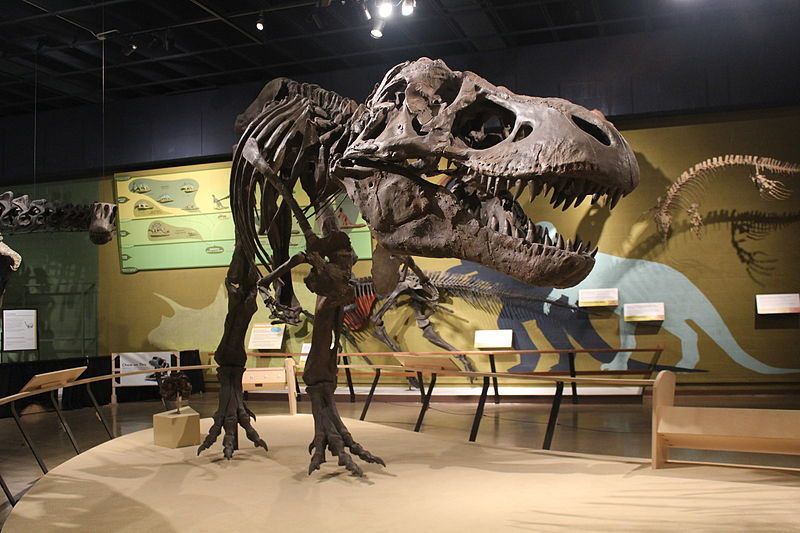 "Cast of Tyrannosaurus rex skeleton (the specimen MOR 555, or ""Wankel rex"") at Cleveland Museum of Natural History 30 September 2011."