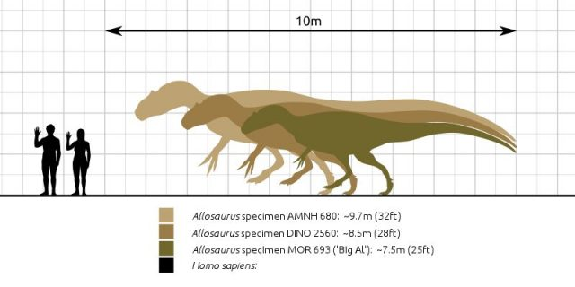 A size comparison of various specimens of the theropod dinosaur genus Allosaurus. Photo credit: Steveoc 86