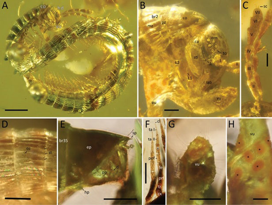 The newly described millipede, Burmanopetalum inexpectatum, preserved in amber(Credit: Leif Moritz (CC-BY 4.0))