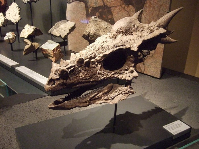 A 66-million-year-old fossil Stygimoloch spinifer skull found in North Dakota, on display at the Museum für Naturkunde Berlin. Sebastian Wallroth