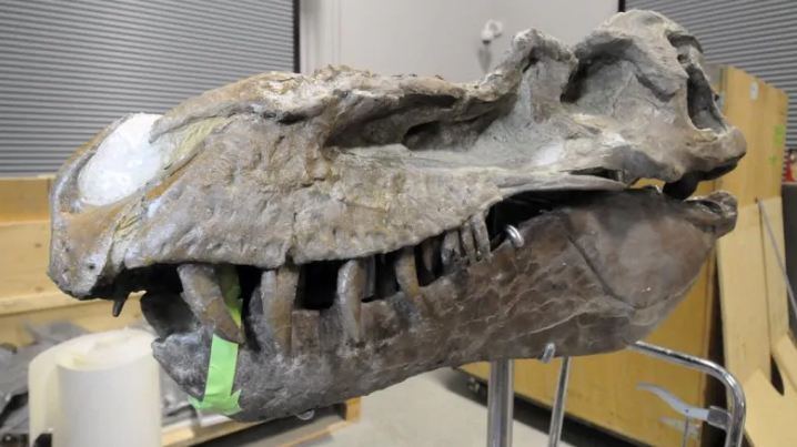 A Gorgosaurus fossil, discovered by Barnum Brown near the Red Deer River in Alberta, gets a makeover at the Smithsonian museum of natural history in Washington, D.C. (Smithsonian Institution)