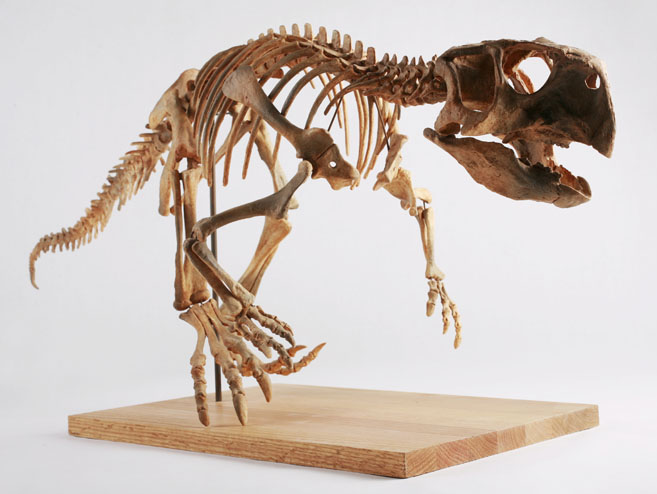 A Psittacosaurus skeleton cast in the permanent collection of The Children's Museum of Indianapolis.