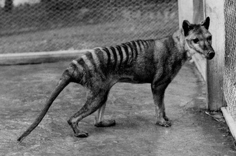 A Tasmanian tiger. (Image: TMAG Tasmanian Museum and Art Gallery)