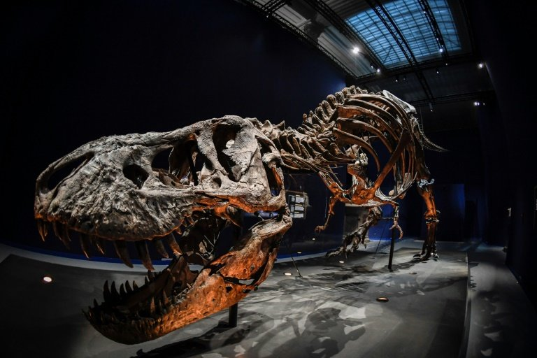 A Tyrannosaurus rex fossil at the National Museum of Natural History in Paris. NurPhoto via Getty Images