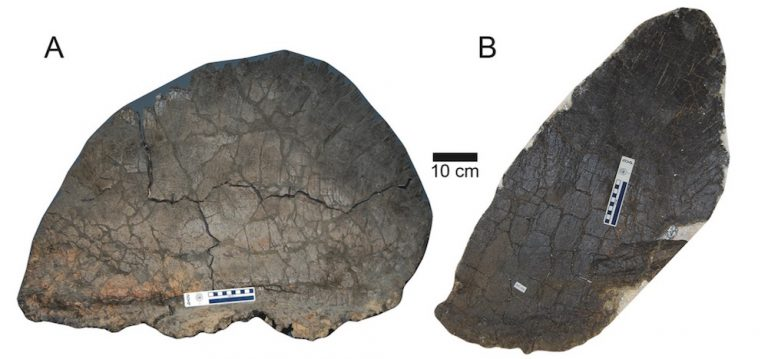 A comparison of the largest wide plate (A) next to the largest tall plate (B) of the studied Stegosaurus mjosi plates.