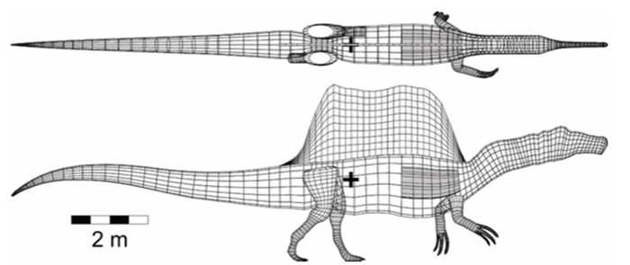 A digital model of the centre of mass of Spinosaurus (illustrated by the black plus symbol located at the hind legs), which is similar to that of other theropods, such as Tyrannosaurus rex. COURTESY ROYAL TYRRELL MUSEUM