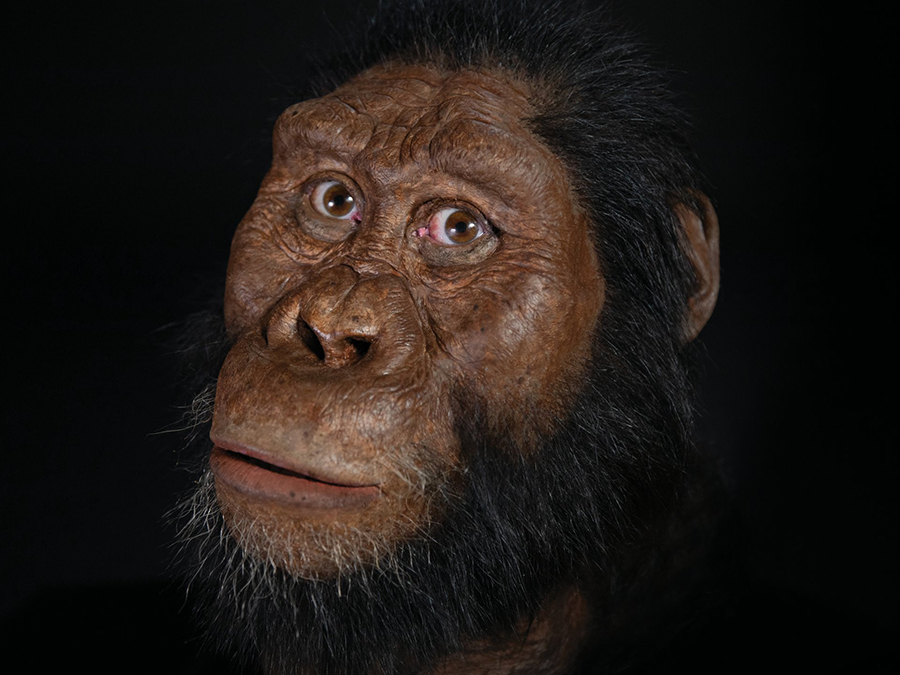 A facial reconstruction of the 3.8 million-year-old Australopithecus anamensis specimen found in Ethiopia in 2016. Matt Crow, courtesy of the Cleveland Museum of Natural History. Facial reconstruction by John Gurche.