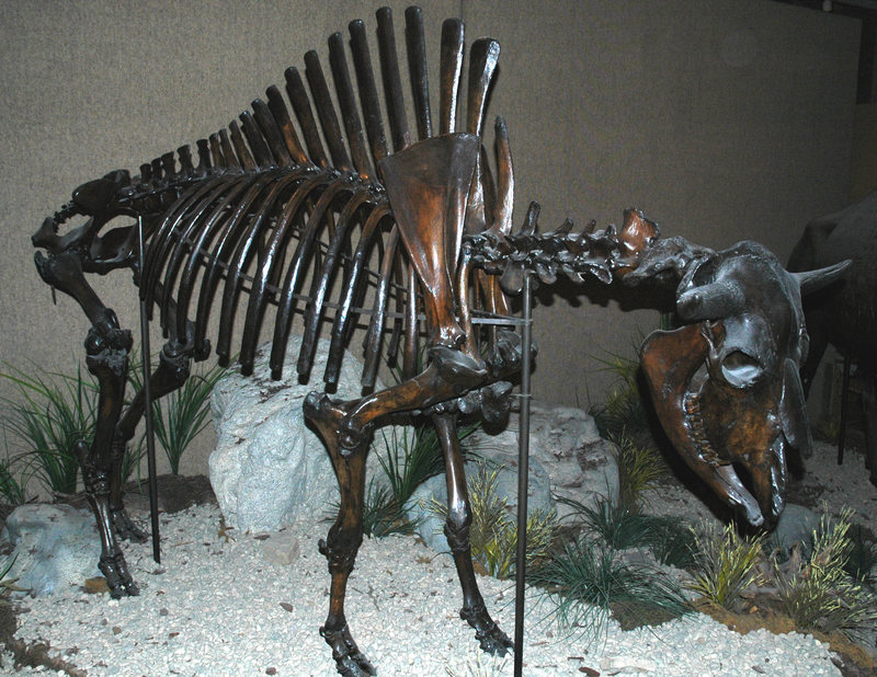 A fossilized bison from Pleistocene New Mexico. JAMES ST. JOHN/CC BY 2.0