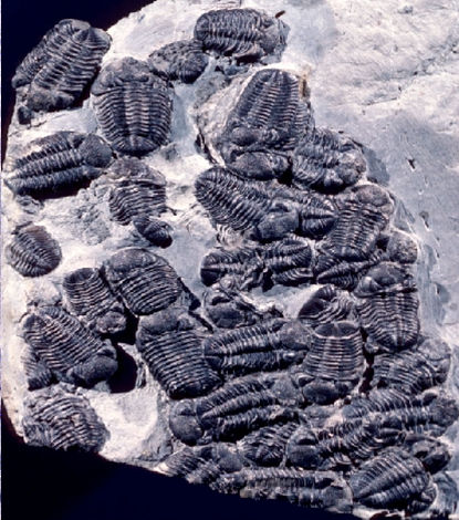 A group of trilobites fossilized after being trapped in mud in what is now western New York. Credit: Carlton Brett
