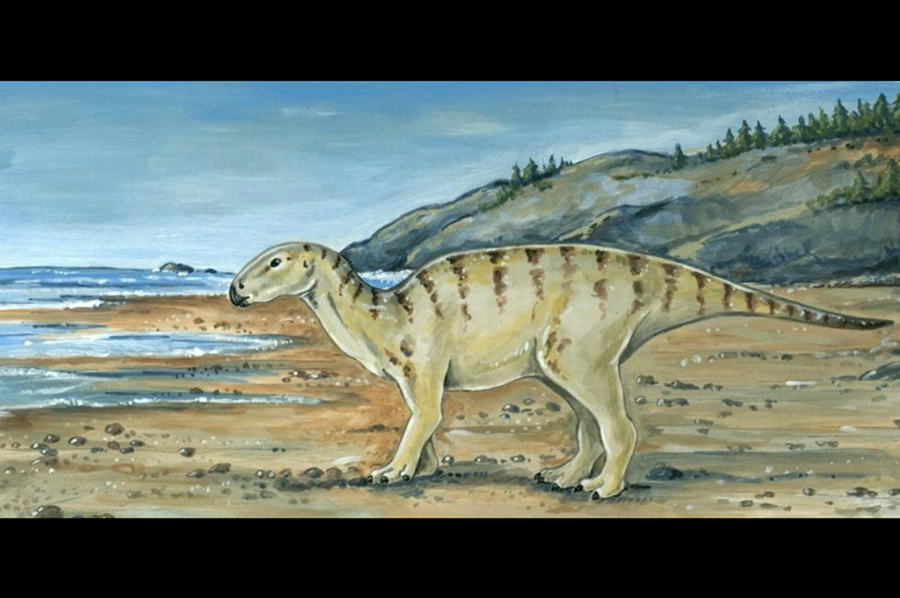 A reconstruction of what the ornithopod, whose fossilized toe bone was discovered by a University of Oregon earth sciences professor, may have looked like during the Cretaceous era more than 100 million years ago. [Courtesy of the University of Oregon Museum of National and Cultural History]