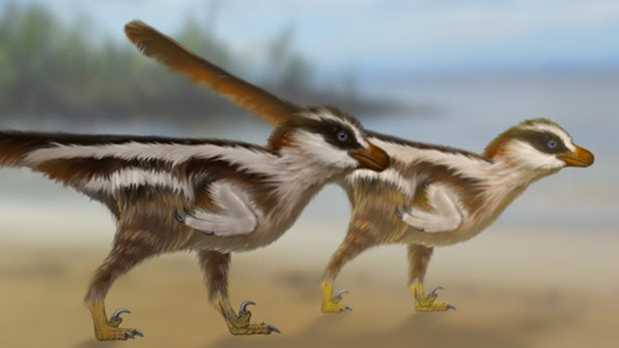 A recreation of Dromaeosauriformipes rarus, the tiny new raptor species that's thought to be responsible for the world's smallest dinosaur footprints(Credit: Dr Anthony Romilio)