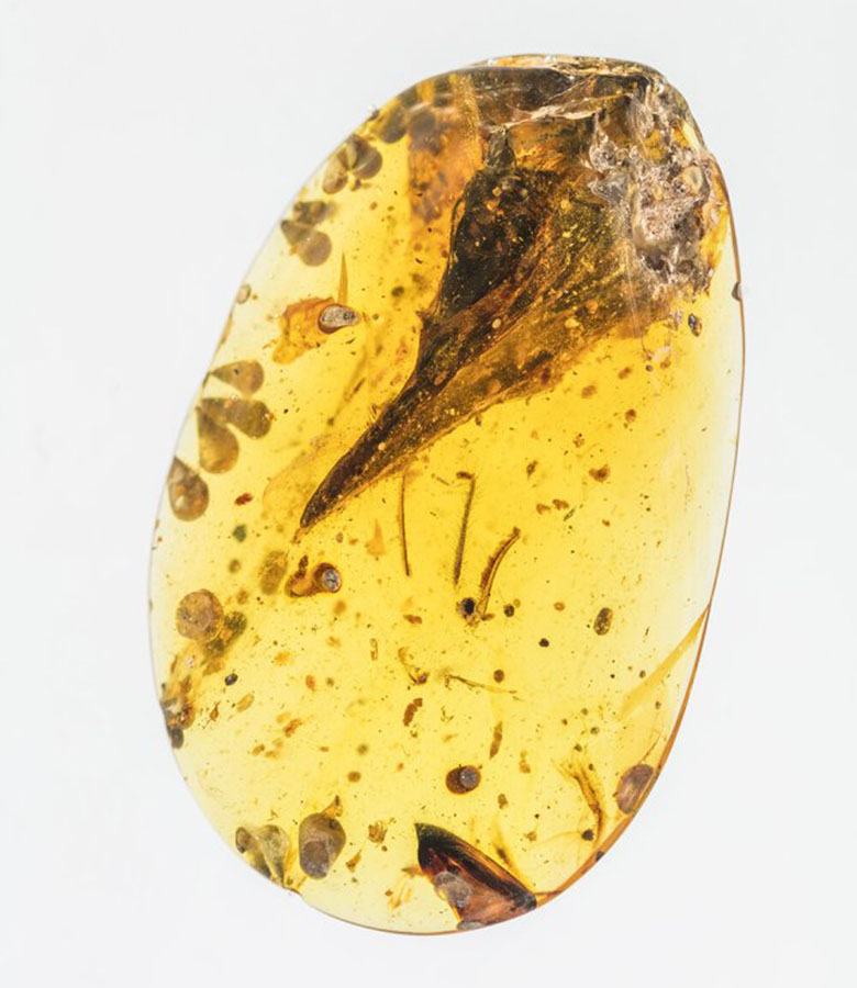A seemingly mature skull specimen preserved in Burmese amber reveals a new species, Oculudentavis khaungraae, that could represent the smallest known Mesozoic dinosaur in the fossil record. Xing Lida