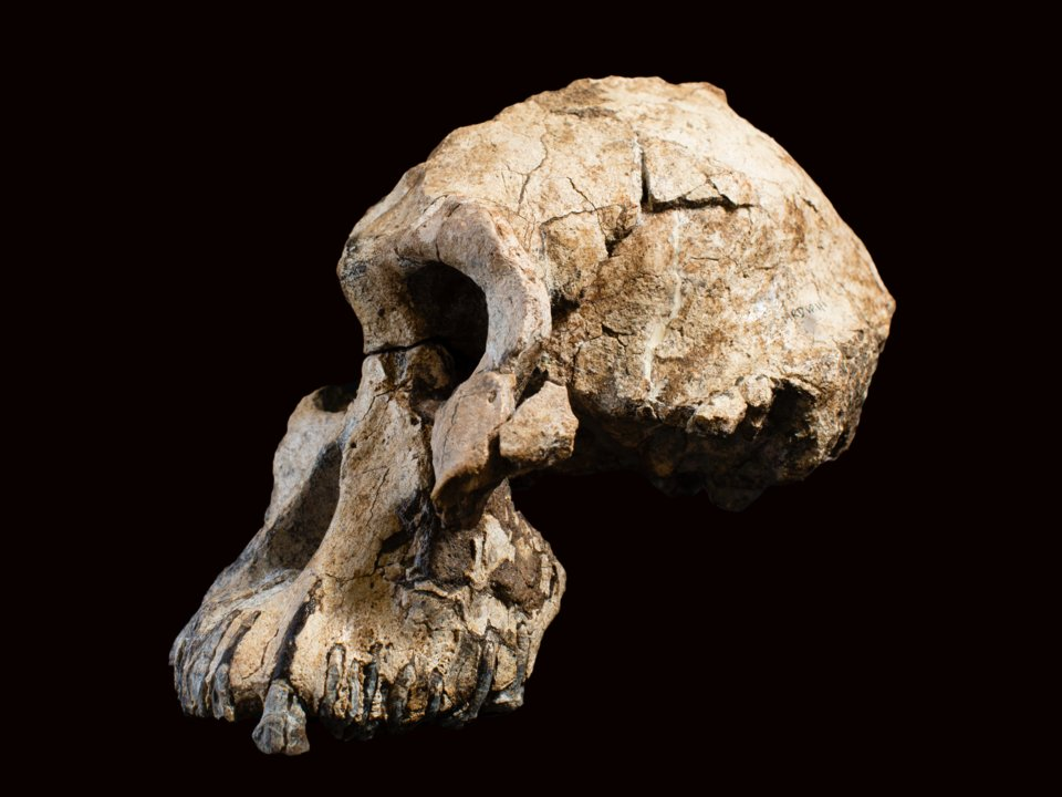 "A side view of the Australopithecus anamensis skull known as ""MRD,"" which was discovered in Ethiopia in 2016. Dale Omori, Courtesy of the Cleveland Natural History Museum"