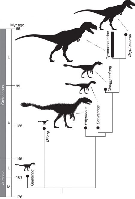 A simplified cladogram showing the systematic position of Y. huali among the Tyrannosauroidea. From: A gigantic feathered dinosaur from the Lower Cretaceous of China Xing Xu, Kebai Wang, Ke Zhang, Qingyu Ma, Lida Xing, Corwin Sullivan, Dongyu Hu, Shuqing Cheng & Shuo Wang- Nature 484, 92–95 (05 April 2012)