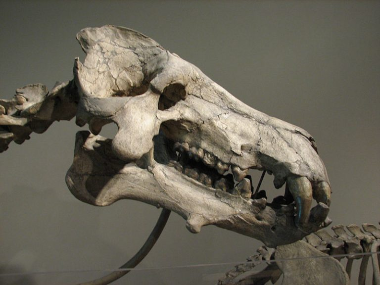 A skull of Daeodon shoshonensis at the Carnegie Museum of Natural History. Author: Matt Celeskey