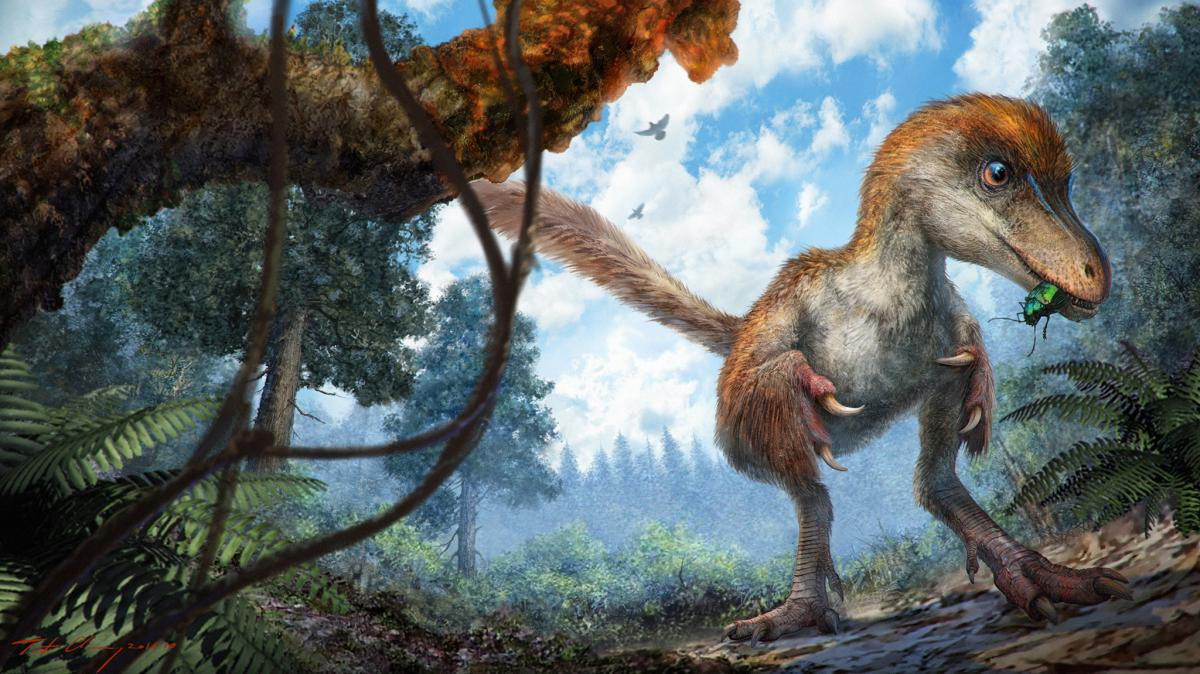 A small coelurosaur, a feather-tailed dinosaur that lived 99 million years ago, approaching a resin-coated branch on the forest floor.  CHUNG-TAT CHEUNG
