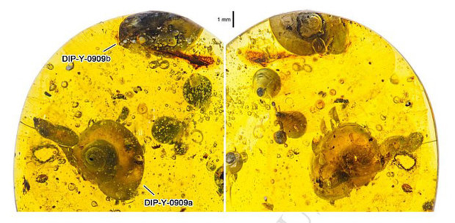 AMBER: The snail was found inside a piece of resin in Burma. CHINA UNIVERSITY OF GEOSCIENCES