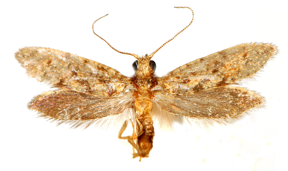 The wingspan of the adult kauri moth is just 12.5 mm. Image: Len Willan.