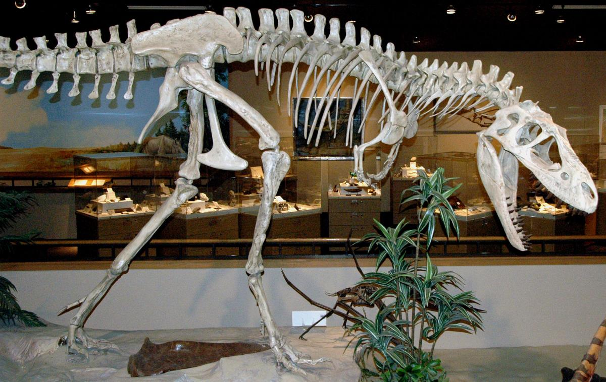Albertosaurus sarcophagus Osborn, 1905 theropod dinosaur from the Upper Cretaceous of Alberta, western Canada (public display, Dakota Dinosaur Museum, Dickinson, North Dakota, USA). Classification: Animalia, Chordata, Vertebrata, Dinosauria, Theropoda, Tyrannosauridae Theropod were small to large, bipedal dinosaurs. Almost all known members of the group were carnivorous (predators and/or scavengers). They represent the ancestral group to the birds, and some theropods are known to have had feathers. Some of the most well known dinosaurs to the general public are theropods, such as Tyrannosaurus, Allosaurus, and Spinosaurus.