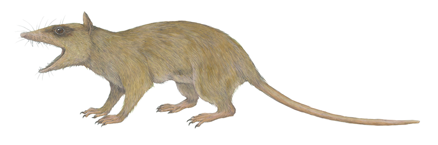 Illustration of Alphadon, a small marsupial relative from the Cretaceous Period. Alphadon is representative of the type of small, primarily insect-eating ancestors of the three major ecological radiations of mammaliaforms — giving rise to lineages that have diverse diets and forms of locomotion.Misaki Ouchida