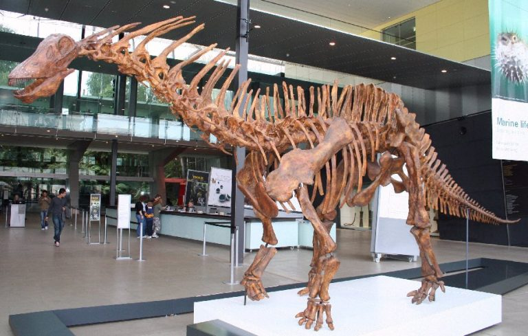 Amargasaurus skeleton cast in the Melbourne Museum foyer.
