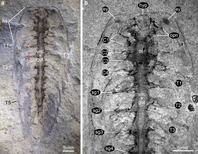 An Alalcomenaeus fossil found in the 1990s shows a similar nervous system to another fossil found recently. (Image credit: Ortega-Hernández et al. 2019 )