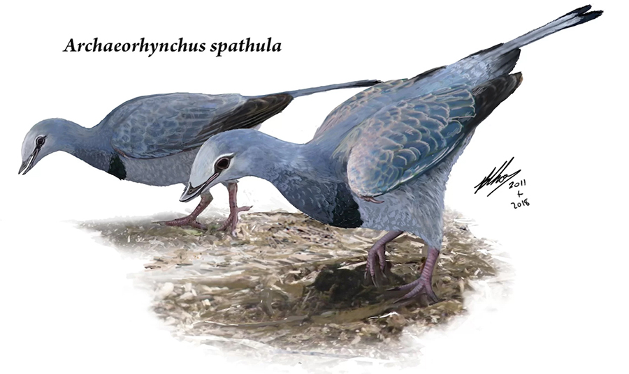 An artist's interpretation of the dinosaur-era bird Archaeorhynchus spathula, which was a bit larger than a modern pigeon. Credit: Brian Choo